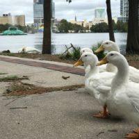 Lake Eola Ducks Post Hurricane